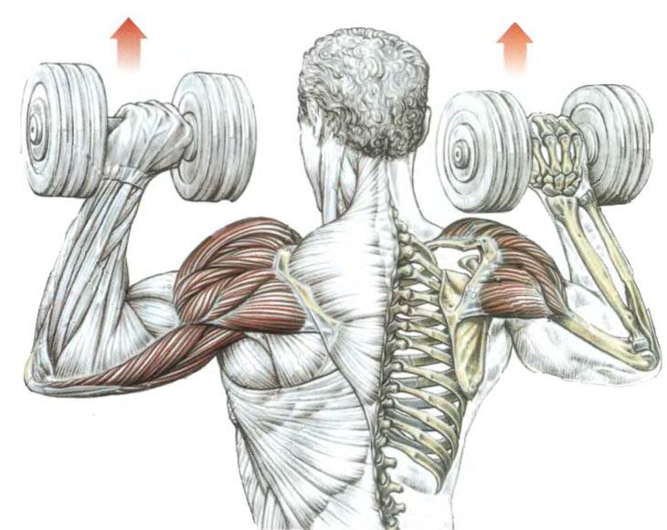 Все упражнения для плеч в картинках этого сорта